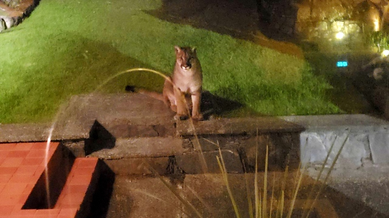 Colwood couple Dave Brick and Sherry Kerr spotted the cougar in their backyard at roughly 10 p.m. Monday: (Dave Brick and Sherry Kerr)