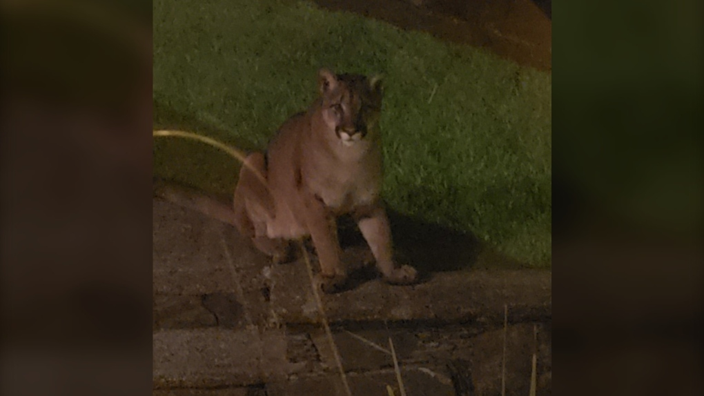 Colwood cougar