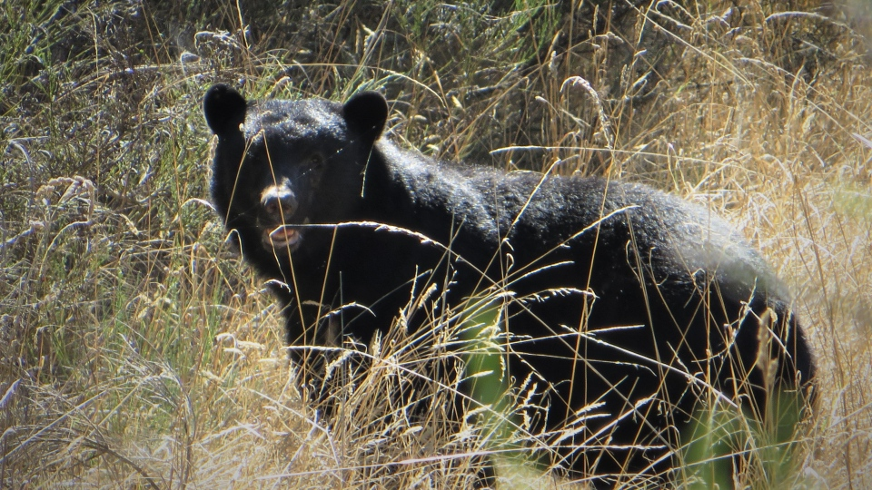 A black bear is seen in this file image provided by Saanich Police.