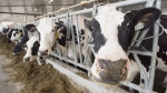 Dairy cows are seen at a farm, Friday, August 31, 2018 in Sainte-Marie-Madelaine, Que. THE CANADIAN PRESS/Ryan Remiorz
