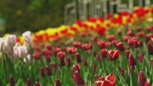 Virtual tulip festival
