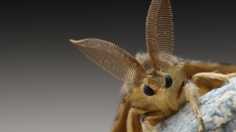 The Gypsy moth or Asian gypsy moth can cause damage to trees and shrubs. (Shutterstock, CNN)