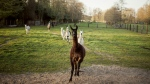 Winter is a four-year-old llama living on a farm in the Belgian countryside operated by Ghent University's Vlaams Institute for Biotechnology. (Tim Coppens)