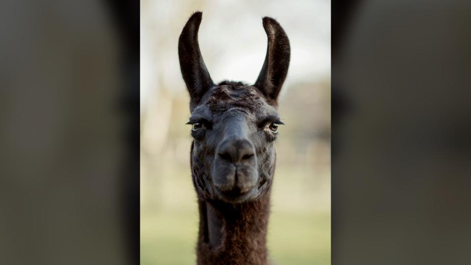 Winter the llama