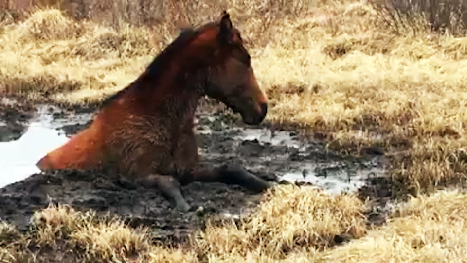 A young filly was stuck in a mud hole when a group of wild horse advocates rescued it.