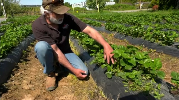 'They'd rather stay home': Farmer struggling to hire workers who are collecting CERB