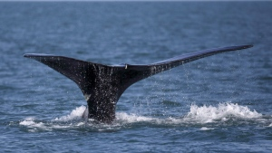 In this file photo, a North Atlantic right whale appears at the surface of Cape Cod bay off the coast of Plymouth, Mass., on March 28, 2018. (THE CANADIAN PRESS/AP-Michael Dwyer)