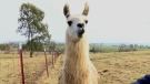 This is not the llama that OPP found roaming east of Perth Thursday night. It is a file photo. Plus, the animal was an alpaca, not a llama.
