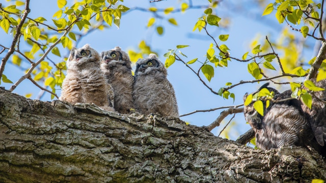 Owls in Delta