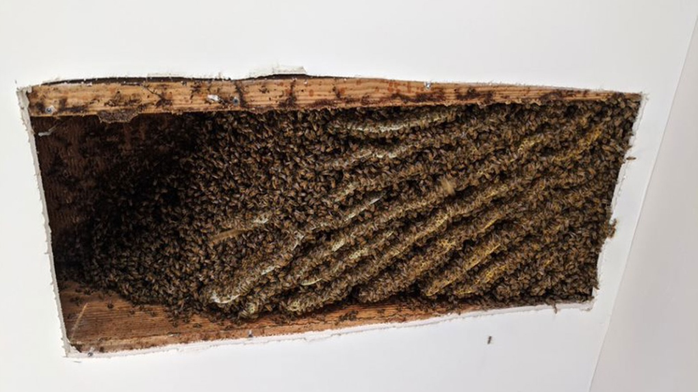 Bees in the ceiling