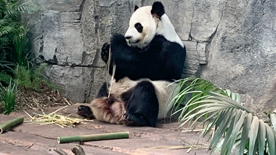 The Calgary Zoo's resident giant pandas are being returned to China over bamboo supply concerns.