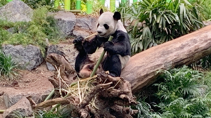 Calgary Zoo officials confirm Er Shun and Da Mao, the giant pandas on loan from China, are scheduled to depart Calgary Friday (file)