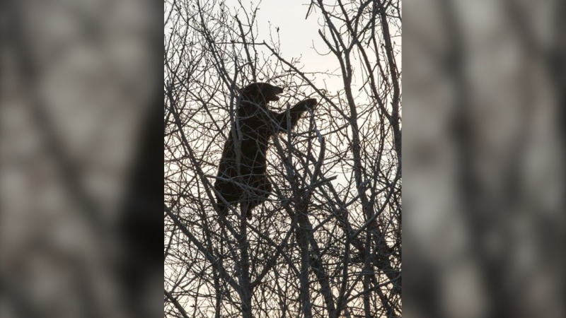 A bear can be seen eating in a tree. (Photo courtesy Patrick Oshust)