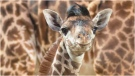 One of the Toronto Zoo's newest family member, a Masai giraffe named Baby Long Legs.(Toronto Zoo)
