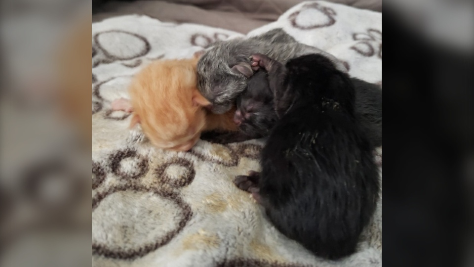 Four rescued kittens going to sudbury shelter