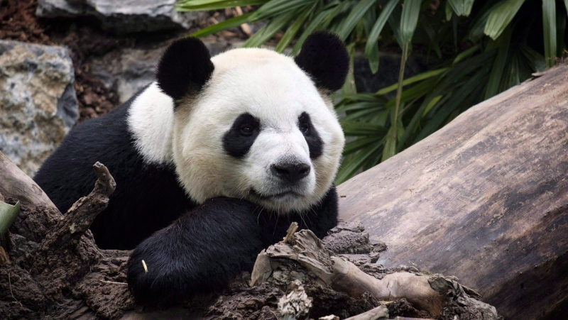 The Calgary Zoo is returning two giant pandas to China due to limited access to fresh bamboo caused by a drop in flights.