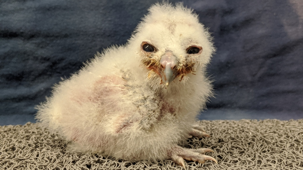 Owl chick Langley
