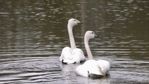 'Bob' and 'Carol Ann' are Whooping Swans at Cedar Meadows Resort and Spa who are newfound mates for life. May 16/2020 (Lydia Chubak/CTV News Northern Ontario)