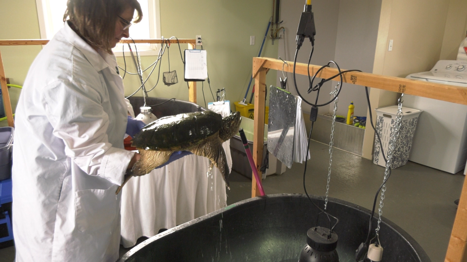 Turtle getting nursed back to health at Turtle Pond Wildlife Centre in Val Caron after being hit by a car. May 18/20 (Ian Campbell/CTV Northern Ontario)