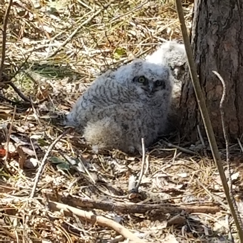An arborist scaled a tree in Garson to return the young owls to their parents after the nest had been destroyed. (Turtle Pond Wildlife Centre)