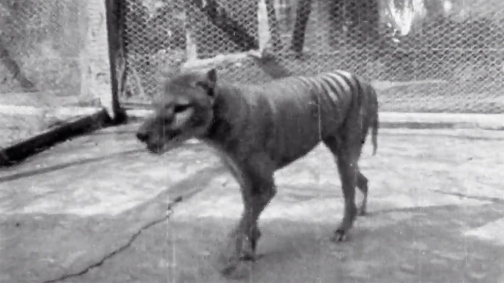 Tasmanian tiger: newly released footage captures last-known vision of thylacine