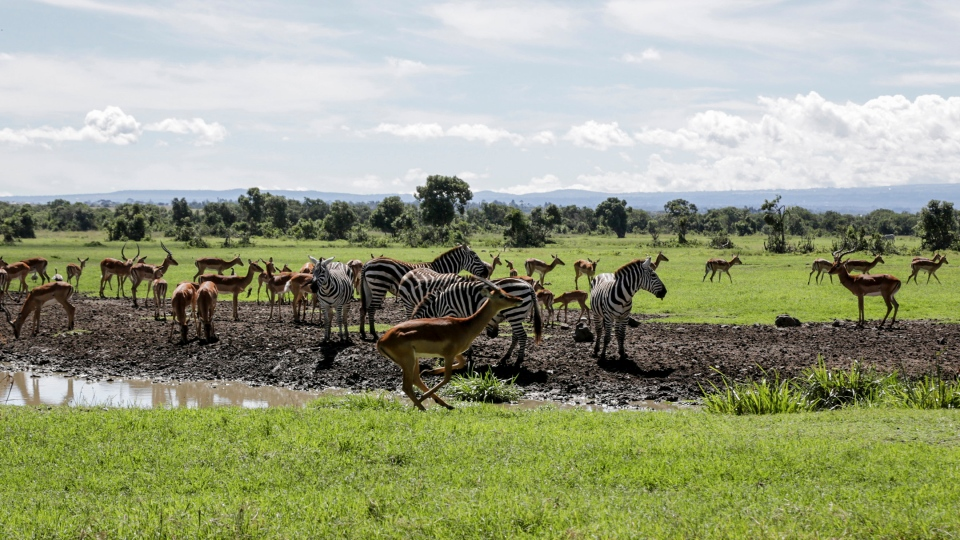 In this photo taken Friday, May 1, 2020, animals gather at a watering hole in the Ol Pejeta conservancy, in Kenya. (AP Photo/Khalil Senosi)