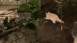 A rare albino raccoon is captured on video. (Credit: @therealjoshuapatrick)
