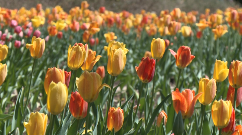 Ottawa tulips Tulip Festival