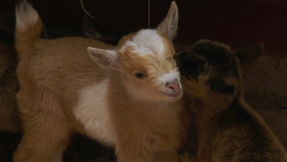 Baby goats are seen at the Beacon Hill Children's Farm: May 20, 2020 (CTV News)