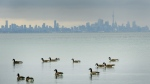 Canadian geese swim in the cold waters of Lake Ontario overlooking the city of Toronto skyline in Mississauga, Ont., on Thursday, January 24, 2019. THE CANADIAN PRESS/Nathan Denette