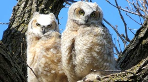 Owlets in Charleswood. Photo by Tina Rutledge.