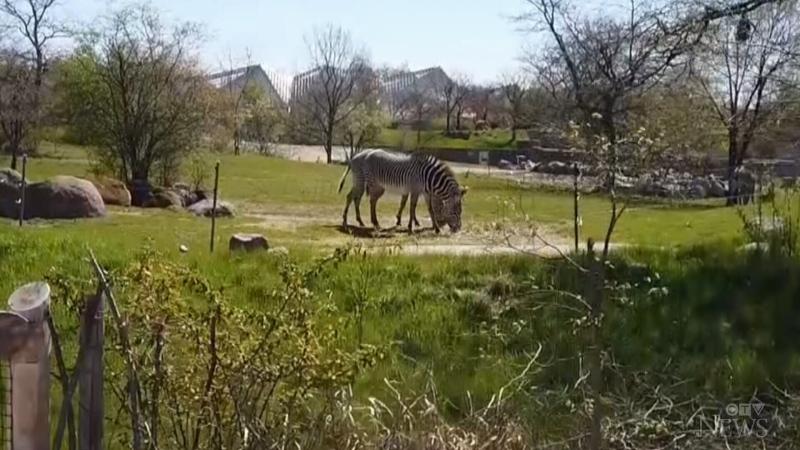 Zebra, Toronto Zoo