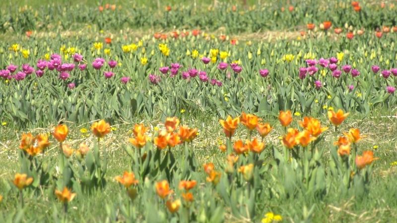 "Ottawa's first ""U-Pick Tulip Farm"" is open at Green Corners Farm just east of downtown in Edwards. (Katie Griffin/CTV News Ottawa)"