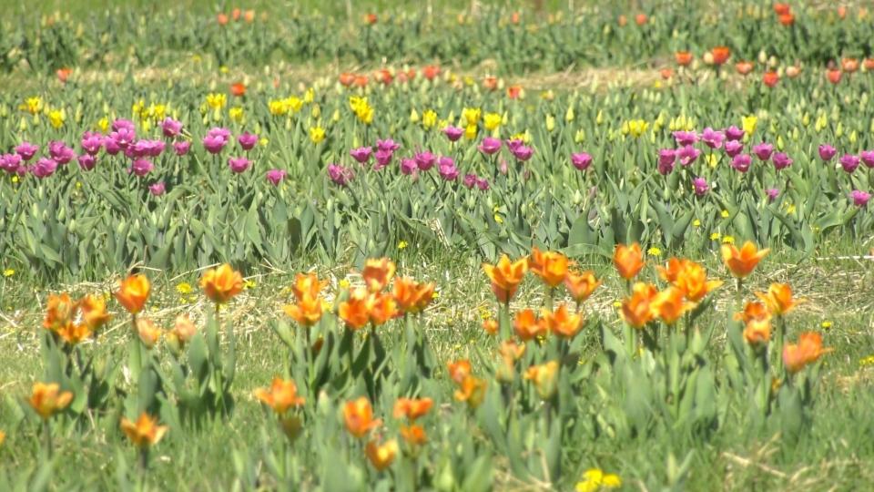 U-Pick Tulip Farm in Ottawa