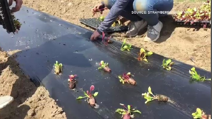 It's peak planting season at the Strawberry Hill Farm near Woodstock, N.B., where 10 new workers have been hired to replace the temporary foreign workers that were prevented from coming to New Brunswick because of COVID-19.