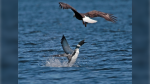 A loon defends itself against a swooping bald eagle. (Jon Winslow)