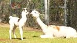 Earl Grey the baby llama. (Source: CTV News/Glen Pismenny)