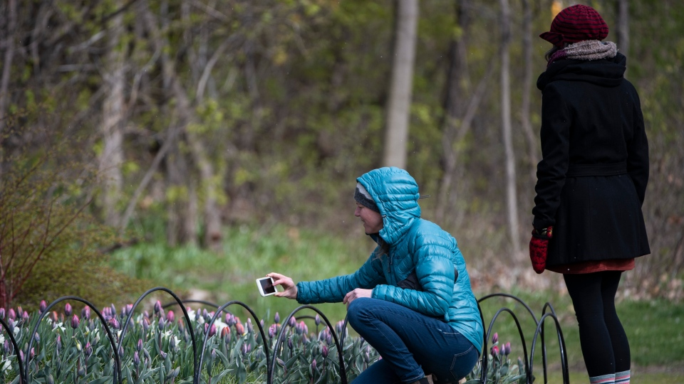 A visitor pauses to take photos of tulips at the Canadian Tulip Festival at Commissioner's Park in Ottawa, in the midst of the COVID-19 pandemic on Saturday, May 9, 2020. THE CANADIAN PRESS/Justin Tang