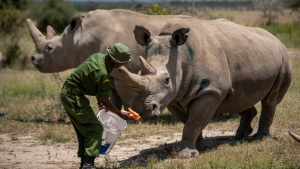 In this Friday, Aug. 23, 2019 file photo, female northern white rhinos Fatu, 19, right, and Najin, 30, left, the last two northern white rhinos on the planet, are fed some carrots by a ranger in their enclosure at Ol Pejeta Conservancy, Kenya. (AP Photo/Ben Curtis, File)