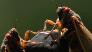 After 17 years underground, millions of cicadas are expected to emerge from the soil in the U.S., which could affect trees and vines.