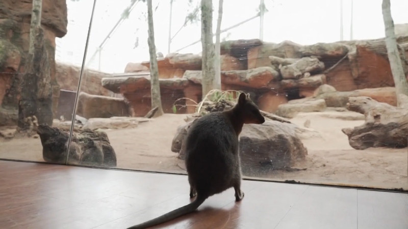 Davey, a quokka, explores the Wild Life Sydney Zoo before it reopens to public starting June 1.