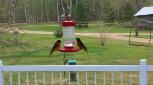 Orioles stopping by for a drink in Kenville, Photo by Simone Sutherland.