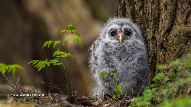 Barred owlet waiting for mom to bring a snack! (Sandra Menard/CTV Viewer)