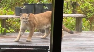 Conservation officer Stuart Bates says this cougar is a dispersing young adult which only recently left its mother.