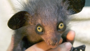A two-month-old male aye aye, (Daubentonia madagascariensis) is shown in this photo made available by the Bristol Zoo in Bristol, England, on Jan. 9, 2007. (Bristol Zoo, HO / AP)