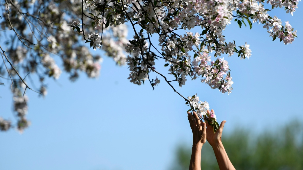 A person touches the flowers of an apple tree