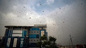 This May 10, 2020 photo shows locusts swarming over city and near by area in Ajmer, Rajasthan, India. (AP Photo/Deepak Sharma)