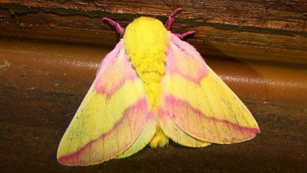 A rosy maple moth is seen in this undated photo. (Lee Elliott / Flickr)