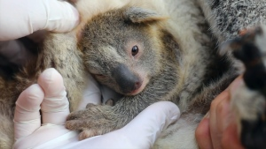 The Australian Reptile Park in Somersby welcomed Ash, its first baby koala to be born since the bushfire season.