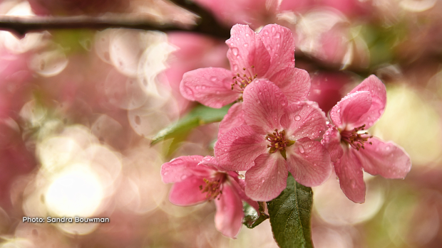 My Crab Apple tree in bloom. If only it would last longer... (Sandra Bouwman/CTV Viewer)